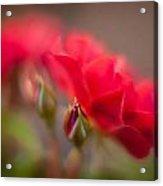 Soaring Red Rosebud Acrylic Print