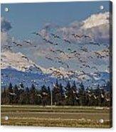 Soaring Skagit Snow Geese Acrylic Print