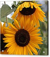 Soft Colors Sunflowers Acrylic Print
