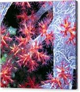 Soft Corals 18 Acrylic Print