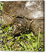 Florida Soft Shelled Turtle - Apalone Ferox Acrylic Print