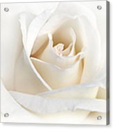 Soft Ivory Rose Flower Acrylic Print