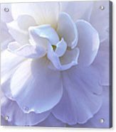 Soft Lavender Begonia Flower Acrylic Print