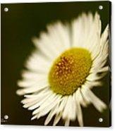 Soft Lighted Daisy Acrylic Print by Alexandra  Rampolla