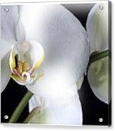 Soft Orchid Acrylic Print