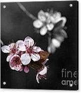 Soft Pink Blossom Acrylic Print
