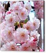 Soft Pink Blossoms Acrylic Print