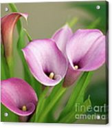 Soft Pink Calla Lilies Acrylic Print