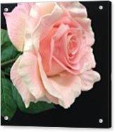 Soft Pink Rose 1 Acrylic Print