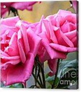 Soft Pink Roses Acrylic Print