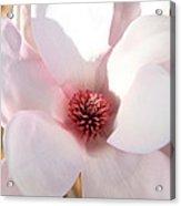Soft Pink Saucer Magnolia Acrylic Print