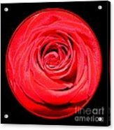Soft Red Rose Closeup Acrylic Print