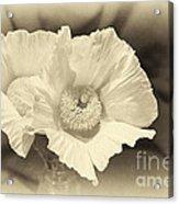 Soft Sepia White Poppy Matilija Flower Acrylic Print