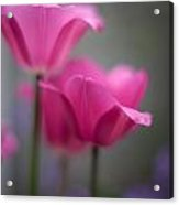 Soft Tulip Twilight Acrylic Print