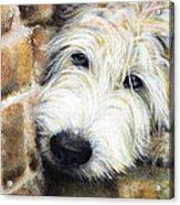 Soft Wheaten Terrier Acrylic Print by Natasha Denger