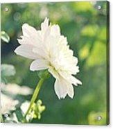 Soft White Dahlias Acrylic Print by Cathie Tyler