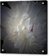 Soft White Peony Acrylic Print