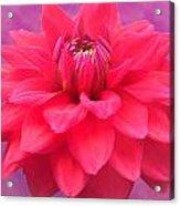 Softer Summer Dahlia Acrylic Print