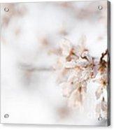 Softly Blossom Acrylic Print