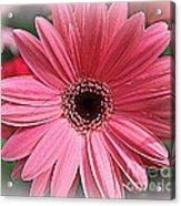 Softly In Pink - Zinnia Acrylic Print