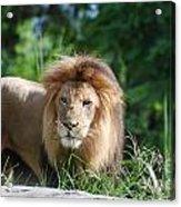 Solemn Lion Acrylic Print