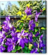 Solina Clematis On Fence Acrylic Print