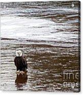 Solitary Eagle Acrylic Print