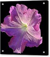 Solitary Pink Petunia Acrylic Print