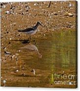Solitary Sandpiper Acrylic Print