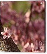 Solo In The Blossom Chorus Acrylic Print