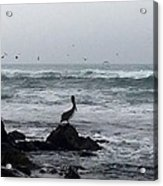 Solo Pelican Acrylic Print
