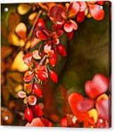 Some Red Berries II Acrylic Print
