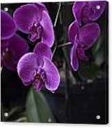 Some Very Beautiful Purple Colored Orchid Flowers Inside The Jurong Bird Park Acrylic Print