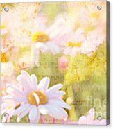 Song Of Spring I - Lovely Soft Pink Daisies Acrylic Print