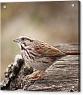 Song Sparrow On Stump Acrylic Print