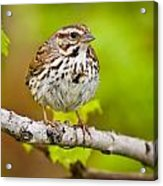 Song Sparrow Pictures 132 Acrylic Print