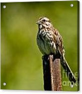 Song Sparrow Pictures 135 Acrylic Print