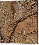 Song Sparrows Acrylic Print