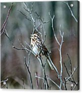 Songs Of Sparrows Acrylic Print