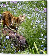 Sonoma In The Wildflowers Acrylic Print