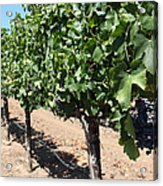 Sonoma Vineyards In The Sonoma California Wine Country 5d24491 Acrylic Print
