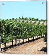 Sonoma Vineyards In The Sonoma California Wine Country 5d24506 Acrylic Print