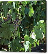 Sonoma Vineyards In The Sonoma California Wine Country 5d24510 Vertical Acrylic Print