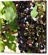 Sonoma Vineyards In The Sonoma California Wine Country 5d24572 Vertical Acrylic Print