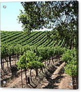 Sonoma Vineyards In The Sonoma California Wine Country 5d24594 Acrylic Print