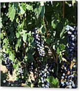 Sonoma Vineyards In The Sonoma California Wine Country 5d24629 Acrylic Print