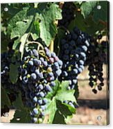 Sonoma Vineyards In The Sonoma California Wine Country 5d24630 Square Acrylic Print