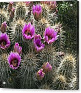 Sonoran Desert Flowers In Spring Hedgehog Cactus Arizona Photograph
