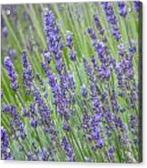Soothing Lavender Acrylic Print