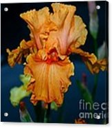 Soprano Iris Acrylic Print